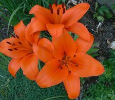 Asiatic Lily Brunello - Asiatic Lilies - Lilies - Flowers by category All Flowers, Orange Flowers, Lilies Flowers, Beautiful Flowers, Spanish Flowers, Peruvian Lilies, Lilies Of The Field, Asiatic Lilies, Agapanthus