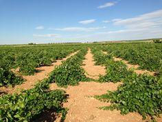 #viñedo de Castilla La Mancha a finales de Julio. El buen #vino está cerca.
