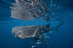 Playful Whale Shark Photo by David Robinson — National Geographic Your Shot