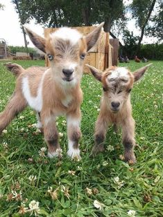 Baby animals are all adorable. If you think goats can't be cute, you better think again. Here's a list of the cutest mini goats you will ever see. Cute Baby Cow, Baby Animals Super Cute, Cute Little Animals, Cute Funny Animals, Baby Baby, Baby Farm Animals, Baby Animals Pictures, Cute Animal Photos, Kids Animals