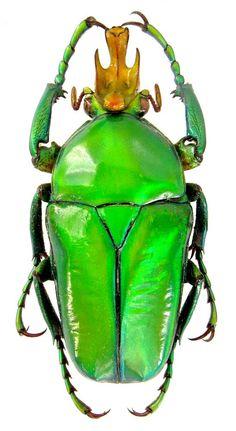 Taurhina longiceps