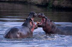 Fun Hippopotamus Facts for Kids