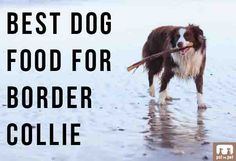 Best Dog Food For Border Collies