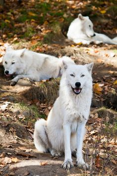 Lounging White Wolves.
