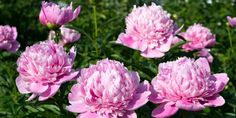 A perennial favorite, this Peony has super-large double flowers in pretty pastel pink. Enjoy their beauty and fabulous fragrance in arrangements, too. Toxic Plants For Cats, Cat Plants, Big And Beautiful, Beautiful Flowers, Peony Sarah Bernhardt, Paeonia Lactiflora, The Clumps, Growing Peonies, Tree Peony