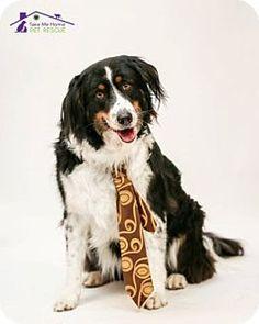 4/1/15 Richardson, TX - Bernese Mountain Dog/Australian Shepherd Mix. Meet Cooper, a dog for adoption. http://www.adoptapet.com/pet/12682392-richardson-texas-bernese-mountain-dog-mix