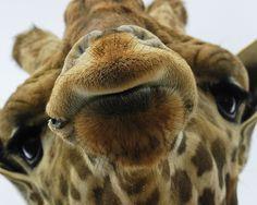 Giraffe!!!