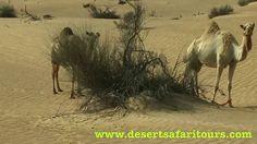Day Long Desert Safari Tour in #Dubai