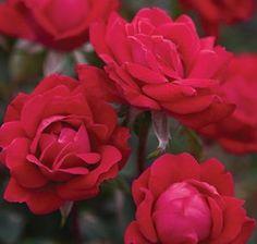 The Double Knock Out® Rose  Rosa 'Radtko'    http://www.conard-pyle.com/index.cfm/fuseaction/koplants.plantDetail/plant_id/592/index.htm