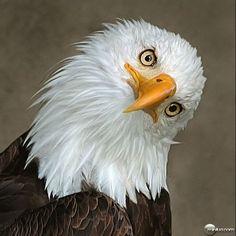 águia