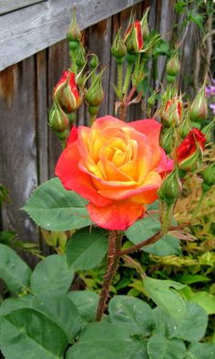 Seattle Garden Ideas: It's February and Time to Prune Roses