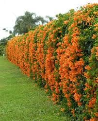 orange trumpet vine - Google Search