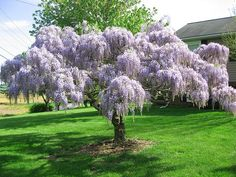 Blue Chinese Wisteria - Tree Form - as a stencil for my cabinets. Blue Chinese Wisteria - Tree Form - as a stencil for my cabinets. Weeping Trees, Planting Flowers, Garden Trees, Plants, Beautiful Tree, Wisteria Tree, Live Plants, Growing Tree, Flowering Trees