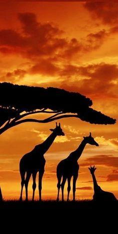 Giraffes at Sunset in South Africa http://adventuredaze.com/travel-cape-town-south-africa/ #AfricaTravelCapeTown