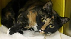ADOPTED>Intake: 7/15 Available: Now  NAME: Casey  ANIMAL ID: 28530213 BREED: DSH  SEX: Spayed Female  EST. AGE: 2 yrs  Est Weight: 17.0 lbs  Health: Combo negative  Temperament: Friendly  ADDITIONAL INFO: O/S- Returned adoption  RESCUE PULL FEE: FREE!!