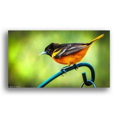I Believe this is an Oriole