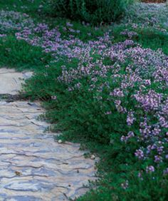 Low-Maintenance Alternatives to Lawns: Thyme spreads slowly, but once established, it's a drought-tolerant and fragrant ground cover. @Fine Gardening