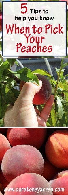 August means the arrival of peach season. This post and video will help you know when to pick your peaches.