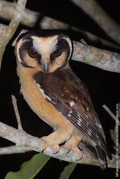 cabure-acanelado - Nome Científico: Aegolius harrisii (Cassin, 1849) - Nome em Inglês: Buff-fronted Owl | Flickr - Photo Sharing!