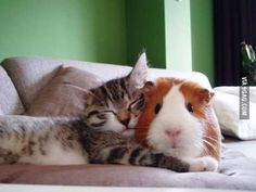 A kitty and a guinea.