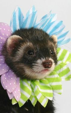 Cute Pet Ferret Photo