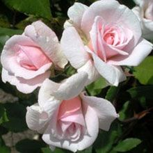 Cecile Brunner Rose | Rose Growing & Care / Rose Information / Roses for the Pacific ...