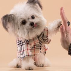 Norbert, 3 lb therapy dog, is super cute and gives great high-fives! www.Norberthood.com