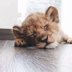 Baby Lion  #lion #sleeping #cute #tired #funny #animal #crueltyfree…