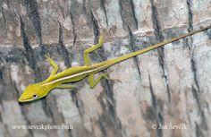Photo of anolis vepří Anolis porcatus Cameleón Cuban Green Anole