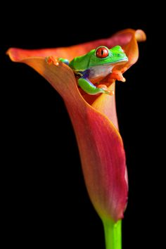 Frog in a Calla Lily by Mark Bridger ♥