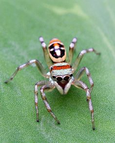 .Well, this spider may be pretty but I would still scream like a sissy if I ever came across one. ~PeggyS.: