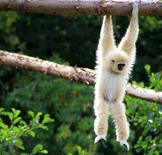 Gibbon hanging on