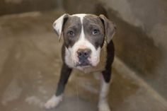 NEXT on DEATH ROW - sadly no Infos about this beauty available - I only know that this is a high kill shelter. Located at Texas, Odessa.  https://www.facebook.com/speakingupforthosewhocant/photos/pb.248355401855372.-2207520000.1395098163./744404635583777/?type=3&theater
