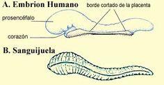 El Corán y el desarrollo embriónico humano