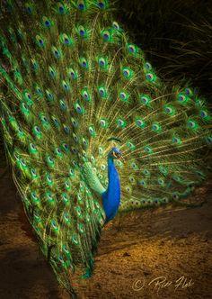 India Blue Strut by Rikk Flohr on 500px