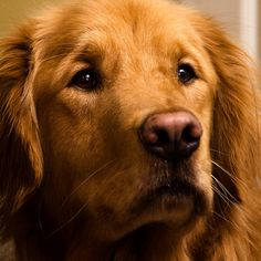 Gorgeous Golden Retriever... Red just  like Lexi. What she is going to look like!