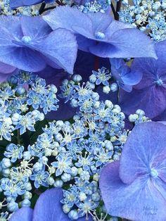 Hydrangea 'Zorro Blue'