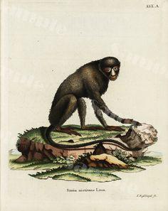 Repro 19th Century Natural History Prints of Ape Monkey Skulls