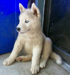 huskita - combo of husky & akita Akita Puppies, Akita Dog, Cute Puppies, Dogs And Puppies, Huskies Puppies, Beautiful Dogs, Animals Beautiful, Cute Animals, Baby Animals