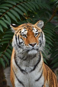 Close up portrait of Amur (Siberian) tiger in forest, looking at camera Amur Tiger Beautiful Looking At Camera Animal Portrait Animal Themes Animal Wildlife Animals In The Wild Big Cat Close-up Cute Day Eyes Feline Female Animal Forest Nature One Animal Outdoors Portrait Siberian Tiger  Tiger Tree