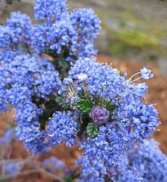 Perfect for dry slopes & anywhere you want a tough, evergreen shrub or ground cover, this low but wide California native shrub is easy California Lilac, California Native Plants, Design Seeds, Garden Shrubs, Garden Plants, Garden Art, Funny Bird, Evergreen Groundcover, Drought Resistant Plants
