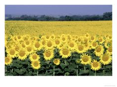 sunflower fields in Kansas...anyways, I have to go back and run thru a field.