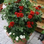 Container Growing - Select Roses