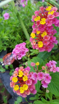 Bandana Pink Lantana~ Heat and drought tolerant. Blooms continuously, right up until frost. No deadheading! This plant is a butterfly and hummingbird favorite.🐝
