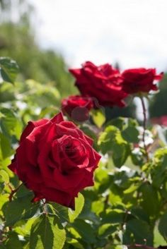 rose plants | CONFEDERATE ROSE BUSH >> Rose Bushes complete info and facts