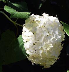 10 Popular Types of Hydrangeas - Growing Tips & Photos | Green and Vibrant Hydrangea, Green Hydrangea, Types Of Hydrangeas, Flowers, Big Flowers, Panicle Hydrangea, Showy Flowers, Flowering Shrubs, Japan Flower