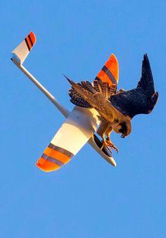 Ce faucon n'a pas vraiment aimé le passage d'un planeur miniature dans son champs de vision. Even falcons have UAV taxis now.