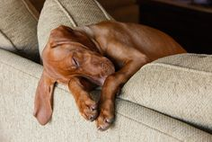 Puppy asleep hanging off the couch by Razvan Balotescu.