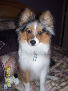 pomeranian sheepdog photo | Poshies - Pomeranian and Sheltie Dog Mix Pictures and Information