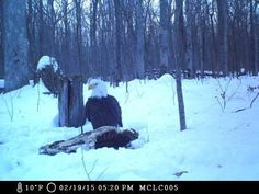 The Monroe County Conservation District's trail camera caught this mature bald eagle at the Meesing Nature Center between Feb. 19-22.